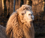 Close-up Portrait of camel at sunset. Close-up Portrait of beauty and shaggy camel at sunset royalty free stock photo