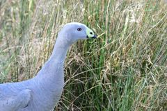 Cape barren goose. Close up portrait of a cape barren goose in the wild Royalty Free Stock Photos