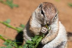 Fat ground squirrel eating green grass stock images