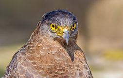 Close up portrait of a captive Golden Eagle  Aquila chrysaetos. With copy space Stock Photography