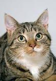 Close-up portrait cat Royalty Free Stock Image