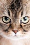 Close-up portrait of  cat. Close-up portrait of Siberian cat Stock Photo