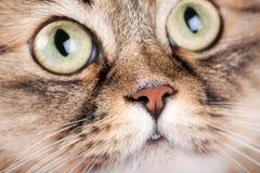 Close-up portrait of  cat. Close-up portrait of Siberian cat Stock Images