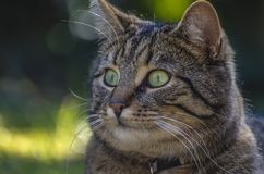 Close-up Portrait of Cat Stock Image