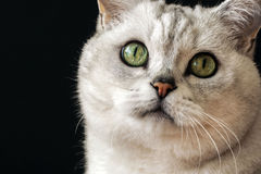 Close-up portrait of a cat with big green eyes. Close-up portrait of a British silver-colour cat with big green eyes Stock Photo