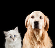 Close-up portrait of a cat and dog. Isolated on black background. Golden retriever and neva masquerade royalty free stock photos