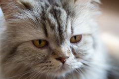 Close up portrait a cat. Selective focus at cat's eye. Close up portrait a cute cat. Selective focus at cat's eye stock photos