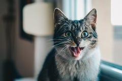 Close-up Portrait of Cat Yawning Stock Photos