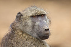 Close-up portrait of Chacma baboon head staring into the distanc Stock Photography