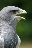 Chested Buzzard close-up Stock Image