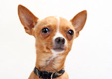 Close-up portrait of chihuahua Royalty Free Stock Photography