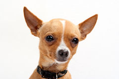 Close-up portrait of chihuahua Stock Photo