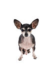 Close up portrait of a Chihuahua dog. Isolated on white background Stock Photo