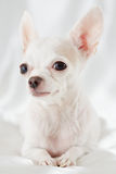 Close-up portrait of chihuahua Stock Photography