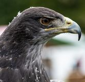 Chilean Blue Eagle Stock Photography