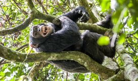 Close up portrait of chimpanzee ( Pan troglodytes ) with open mouth resting  on the tree in the jungle Stock Photography