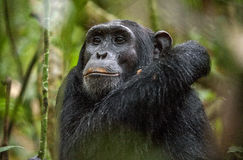Close up portrait of chimpanzee ( Pan troglodytes ) resting in the jungle. Stock Images