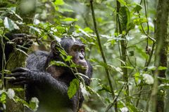 Close up portrait of chimpanzee ( Pan troglodytes ) resting in the jungle. Natural habitat. Kibale forest in Uganda royalty free stock photo