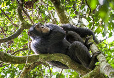 Close up portrait of chimpanzee ( Pan troglodytes ) resting  on the tree in the jungle Stock Photo