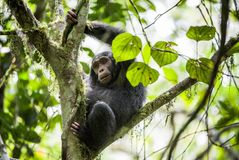 Close up portrait of chimpanzee ( Pan troglodytes ). Resting on the tree in the jungle. Kibale forest in Uganda stock photo