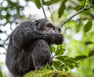 Close up portrait of chimpanzee ( Pan troglodytes ) Stock Images