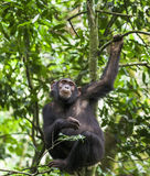 Close up portrait of chimpanzee ( Pan troglodytes ) resting  on the tree in the jungle Royalty Free Stock Photo