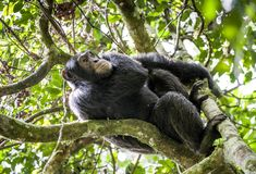 Close up portrait of chimpanzee ( Pan troglodytes ) resting on the tree in the jungle. Kibale forest in Uganda stock photography