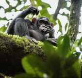 Close up portrait of chimpanzee ( Pan troglodytes ) resting  on the tree in the jungle Royalty Free Stock Photos