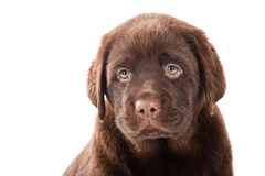 Close-up portrait of Chocolate Retriever puppy Stock Photography