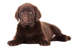 Close-up portrait of Chocolate Retriever puppy Stock Image