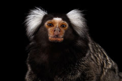 Close-up portrait of Common Marmoset, Callithrix jacchus  Black Background. Close-up portrait of Cute monkey Common Marmoset, Callithrix jacchus  Black Royalty Free Stock Photography