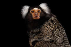 Close-up portrait of Common Marmoset, Callithrix jacchus  Black Background. Close-up portrait of Cute monkey Common Marmoset, Callithrix jacchus  Black Royalty Free Stock Photo