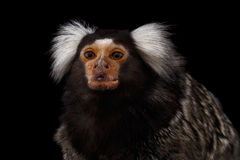 Close-up portrait of Common Marmoset, Callithrix jacchus  Black Background. Close-up portrait of Cute monkey Common Marmoset, Callithrix jacchus  Black Stock Image