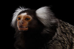 Close-up portrait of Common Marmoset, Callithrix jacchus  Black Background. Close-up Profile portrait of Cute monkey Common Marmoset, Callithrix jacchus  Black Stock Photography
