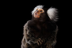 Close-up portrait of Common Marmoset, Callithrix jacchus  Black Background. Close-up Profile portrait of Cute monkey Common Marmoset, Callithrix jacchus  Black Stock Photos