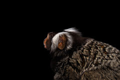 Close-up portrait of Common Marmoset, Callithrix jacchus  Black Background. Close-up Profile portrait of Cute monkey Common Marmoset, Callithrix jacchus with Royalty Free Stock Image