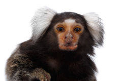 Close-up portrait of Common Marmoset, Callithrix jacchus  white background. Close-up portrait of Cute monkey Common Marmoset, Callithrix jacchus  White Stock Photo