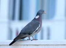 Close up portrait of the common wood pigeon royalty free stock photography