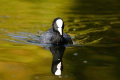 Portrait of a coot swimming in the water. Close up portrait of a coot swimming in the water with a reflection underneath Royalty Free Stock Image