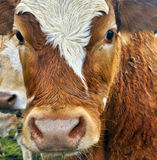 Close up portrait of a cow. Picture close up portrait of a cow Royalty Free Stock Photography