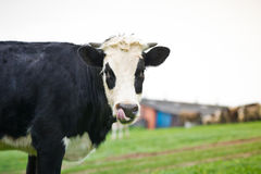 Close-up portrait cow on a meadow Royalty Free Stock Images