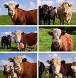 Close up portrait cows in a farm field Royalty Free Stock Images