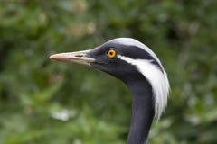 Close up portrait of a crane demoiselle, blue crane. stock image