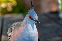 Close up portrait of crested pigeon bird royalty free stock photography