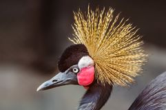 Close up portrait of Crowned Crane, Balearica pavonina, copy spa. Ce stock photos