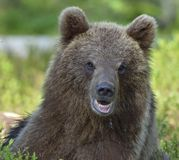 The close up portrait of cub of wild brown bear . The close up portrait of cub of wild brown bear Ursus arctos in a summer forest. Springtime in the forest Royalty Free Stock Photos