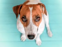 Close-up portrait of curious cute dog Jack russell sitting on green blue wooden floor and lookig upwards in to camera stock photo
