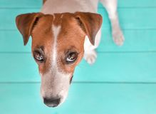 Close-up portrait of curious cute small dog Jack russell sitting on green blue wooden floor and lookig upwards in to stock photos