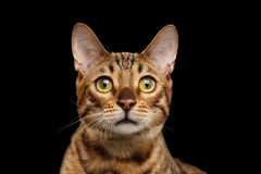 Close-up Portrait of Curious Face Bengal Cat, Isolated Black Background Stock Photos