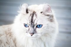 Close-up portrait of cute American Curl cat. With blue eyes stock photo